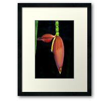 Deep orange banana flower Framed Print