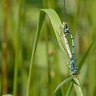 Damselfly  by jaffa