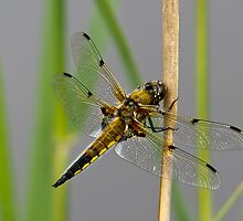 Dragonfly on reed stem by Gary Eason + Flight Artworks