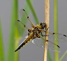 Dragonfly on reed stem by Gary Eason + Flight Artworks