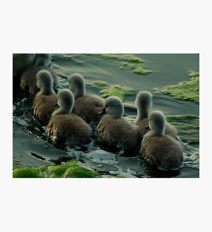 Swan cygnets following mother Photographic Print