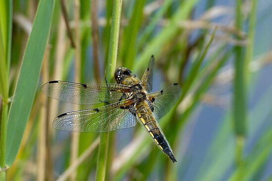 Dragonfly on reed by Gary Eason