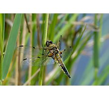 Dragonfly on reed Photographic Print