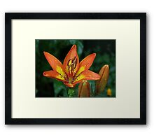Bi-Color Orange Asiatic Lily Framed Print