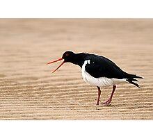 """Go Away"" - Pied Oystercatcher, Tathra Beach Photographic Print"