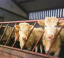 Cows in a Shed by Thomas Hyland