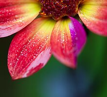 Out in the rain playing with a new 100mm f/2.8 macro lens by alan shapiro