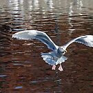 Sea Gull Landing by Randall Ingalls