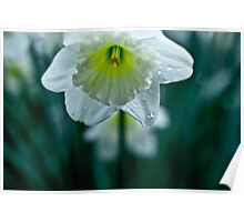 close Spring Daffodil  Poster