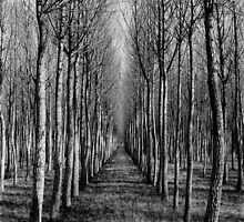 Willow Plantation - Swan Hill by rawpictures