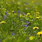 Violets and Dandelions by Gary Chapple