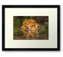Toads mating Framed Print