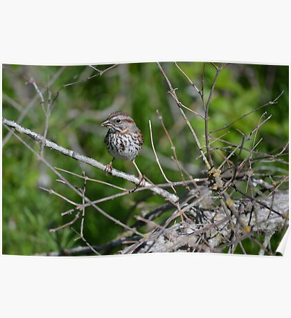 Song sparrow showing off  Poster