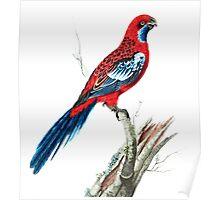 Splendid Parrot Vintage Illustration Poster