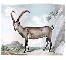 Steinbock (Ibex) Illustration Poster