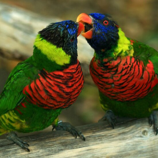 two love birds kissing. Love Birds Kissing Pictures