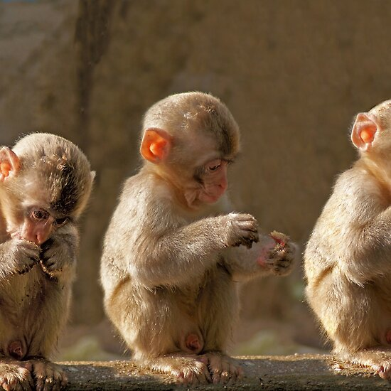 Cute Pics Of Monkeys. cute three monkeys. reply