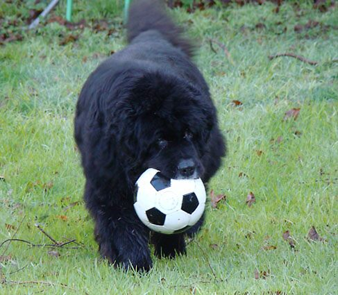 Newfoundland Puppies on Your Favourite Breed S  Of Dog    Page 3