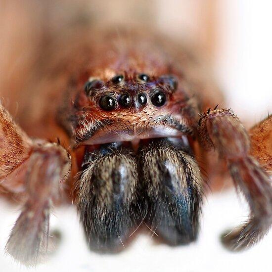 huntsman spider bite. Brown Huntsman Spider, Isopeda