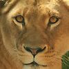 'Lioness' featured in Big Cats