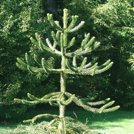 "Monkey Puzzle Tree"" Fine Art Print by George Cousins 