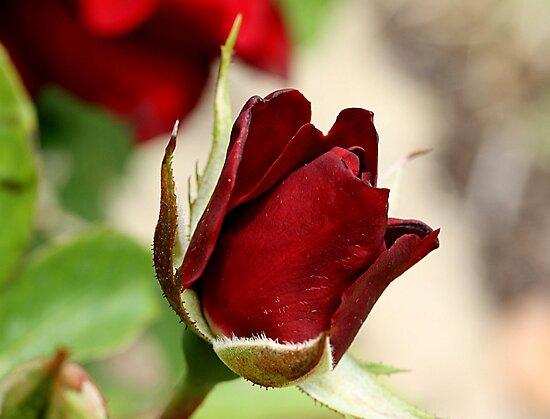 Black+beauty+rose+bush
