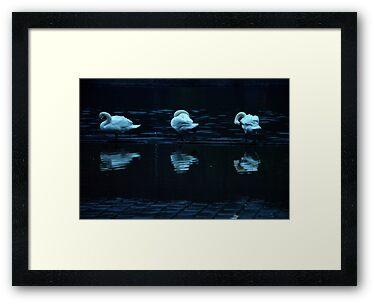 Swans along the Vltava