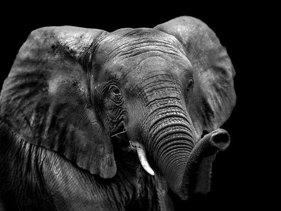 work.4874677.1.flat,550x550,075,f.elephant.jpg