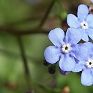 Forget Me Not... by djsnooty