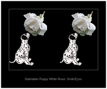 Dalmatian Puppy White Rose Laminated Print