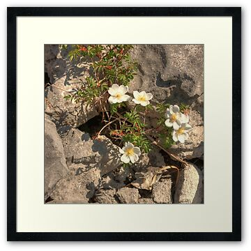 Burnet Roses growing through cracks in the limestone pavement in The Burren in county Clare. The flower a species of rose and is native to western, central and southern Europe and is generally restricted to sand dunes or limestone  pavements