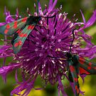 March's Photograph - Greater Knapweed with six spot Burnet Moths - Buy it as a Framed Print