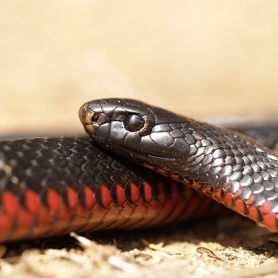 Adult Red-Bellied Black Snake