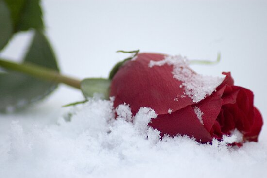Poruči mi stihom, hoću da te osetim romantikom  - Page 6 Work.580591.5.flat,550x550,075,f.the-red-rose