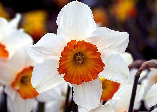 the daffodil society