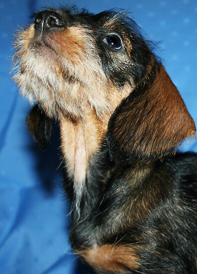 mini long haired dachshund puppies for sale. mini long haired dachshund