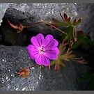 October's Photograph - Bloody Cranesbill