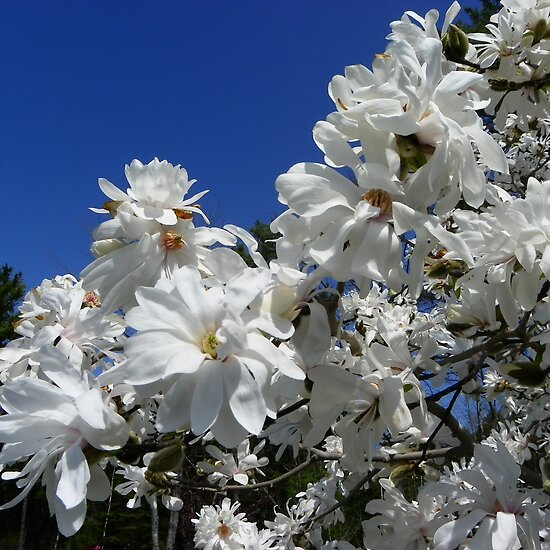 star magnolia tree pictures. Star Magnolia Tree by