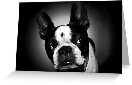 Boston Terrier belongs to the
