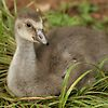 'Honolulu Zoo: The Gosling' featured in The Birds