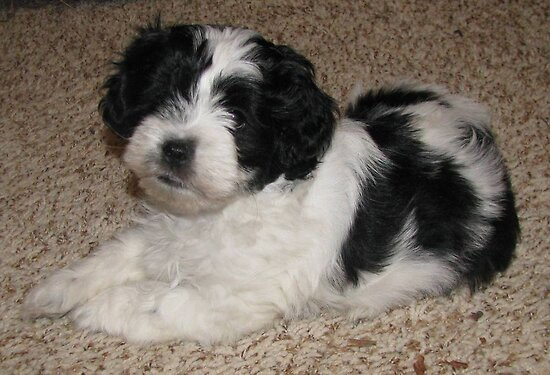 Shih Tzu Merchandise and Collectibles - Dog Breeds