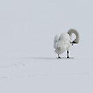 Trumpeter Swan by Kansas Allen