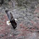Eagle in Flight by Kansas Allen