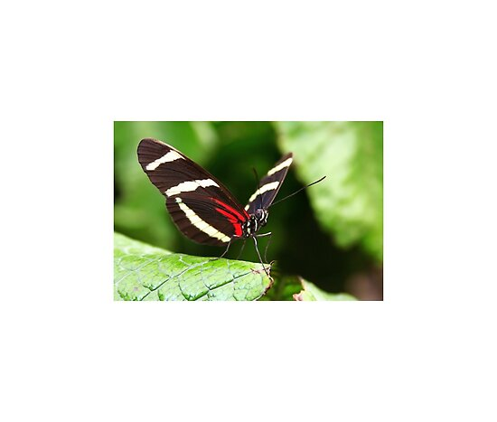 More of Heliconius Sara Butterfly Pictures