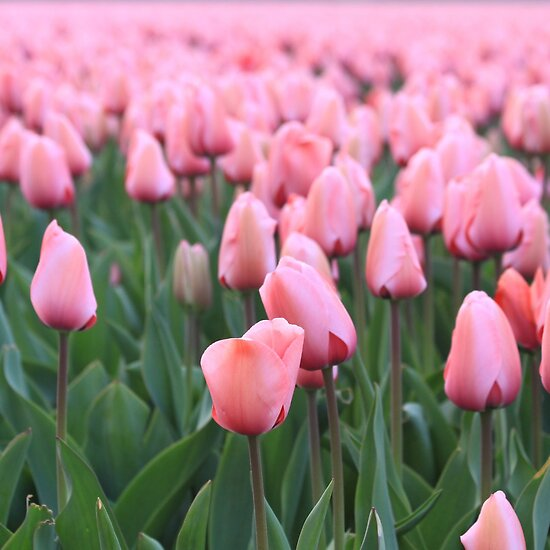 Tulip cultivation &quot; Fine Art Print by DutchLumix | RedBubble