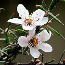 Leptospermum scoparium manuka. by tonyfoster
