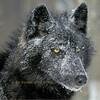 WolfShadow27