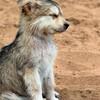 wolfpavek1