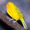Songbird99