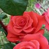 rosemellen